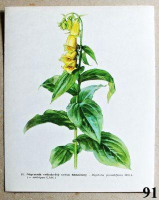 atlas květin náprstník velkokvětý