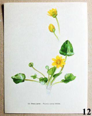 atlas květin orsej jarní