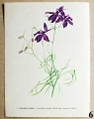 atlas květin ostrožka stračka