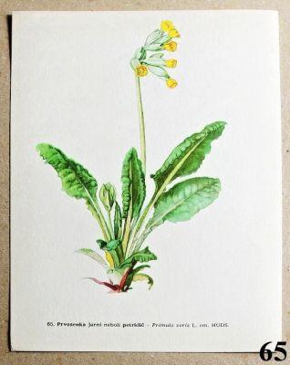atlas květin petrklíč
