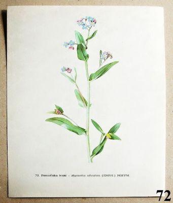 atlas květin pomněnka lesní