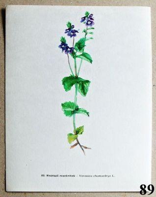 atlas květin rozrazil rezekvítek