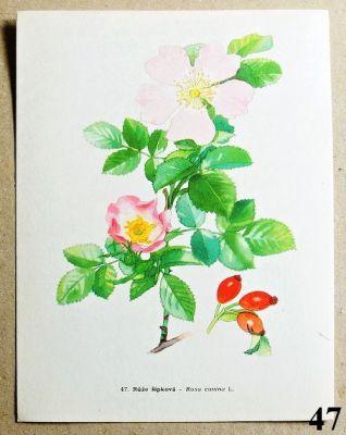 atlas květin růže šípková