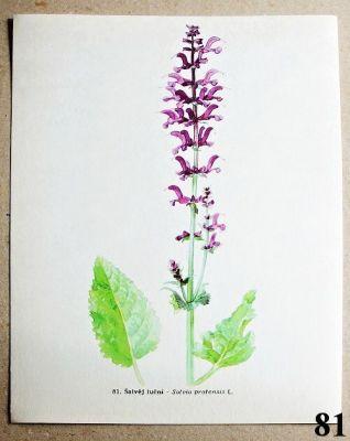 atlas květin šalvěj luční