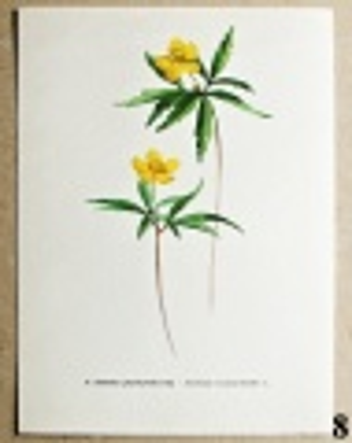 atlas květin sasanka pryskyřníkovitá