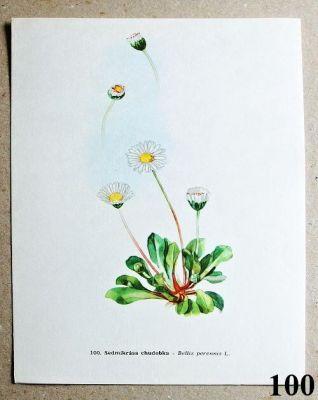 atlas květin sedmikrása chudobka