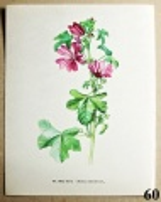 atlas květin sléz lesní