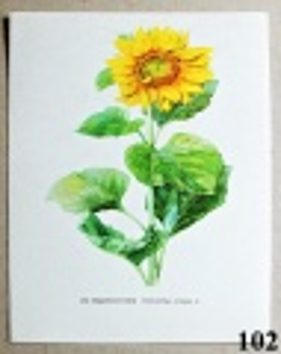atlas květin slunečnice roční
