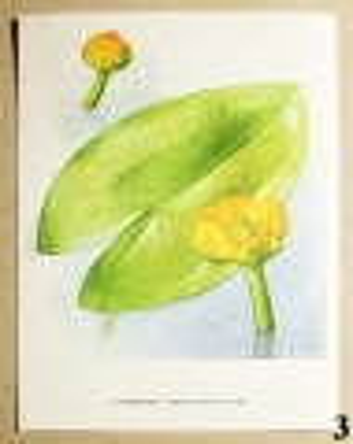 atlas květin stulík žlutý