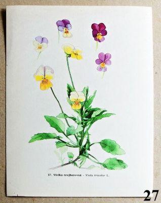 atlas květin violka trojbarevná