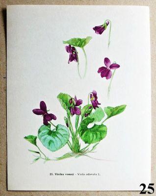 atlas květin violka vonná