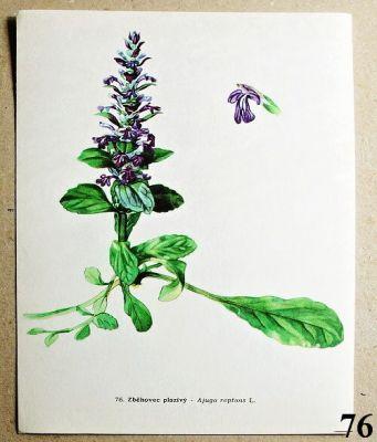 atlas květin zběhovec plazivý