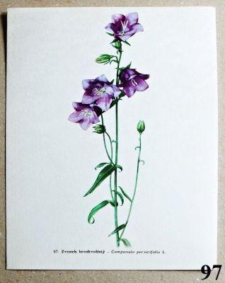 atlas květin zvonek broskvolistý