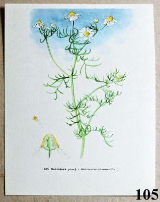 atlas léčivých bylin heřmánek pravý