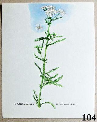 atlas léčivých bylin řebříček obecný