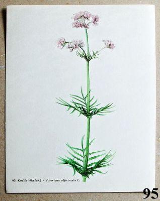 atlas léčivých bylin kozlík lékařský