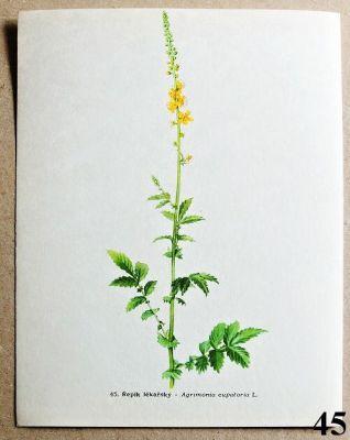 atlas léčivých bylin řepík