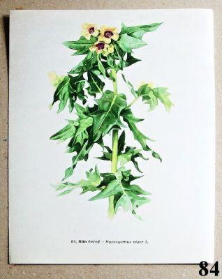 atlas rostlin - blín černý