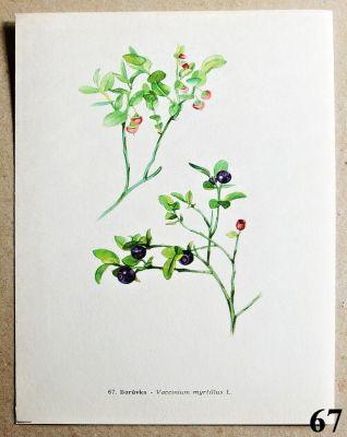 atlas rostlin borůvka