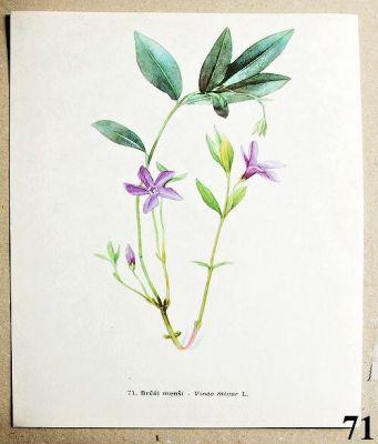 atlas rostlin brčál menší