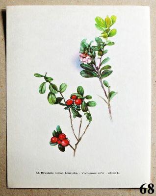 atlas rostlin brusinka
