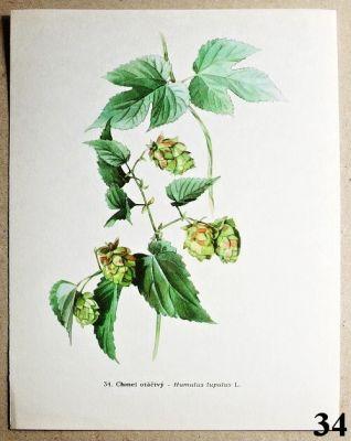 atlas rostlin chmel otáčivý