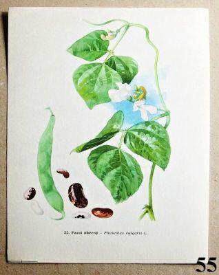 atlas rostlin fazol obecný