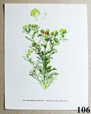 atlas rostlin heřmánek terčovitý