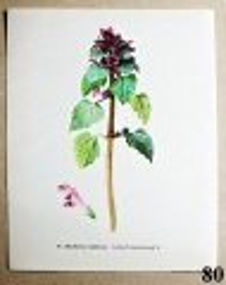 atlas rostlin hluchavka nachová