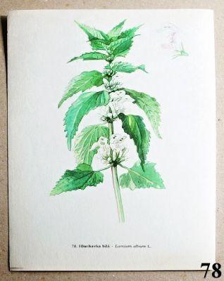 atlas rostlin hluchavka bílá