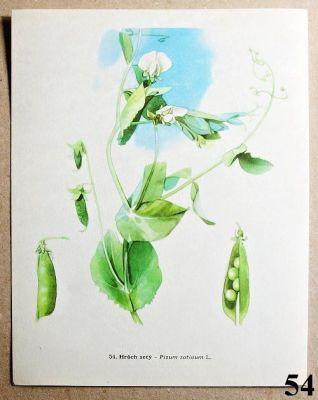 atlas rostlin hrách setý