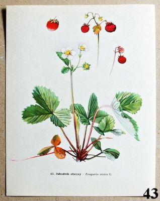 atlas rostlin jahodník obecný