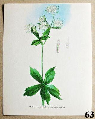 atlas rostlin jarmanka větší