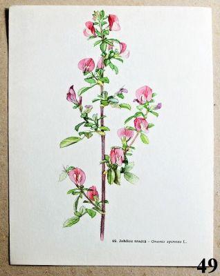 atlas rostlin jehlice trnitá