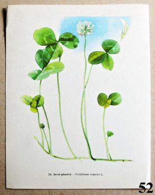 atlas rostlin jetel plazivý