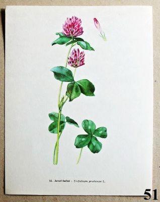 atlas rostlin jetel luční