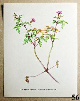 atlas rostlin kakost smrdutý