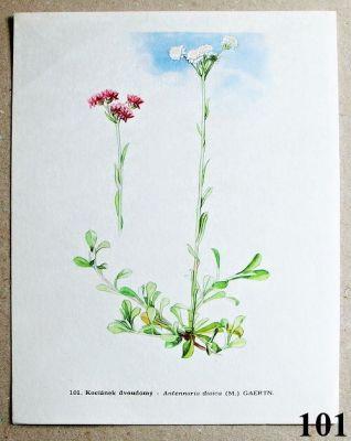 atlas rostlin kociánek dvoudomý