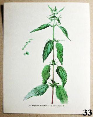 atlas rostlin kopřiva dvoudomá