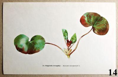 atlas rostlin kopytník evropský