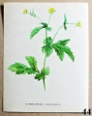 atlas rostlin kuklík městský