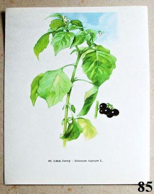 atlas rostlin lilek černý