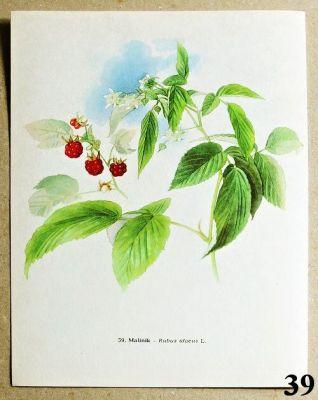 atlas rostlin maliník