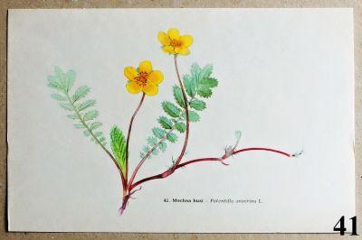 atlas rostlin mochna husí