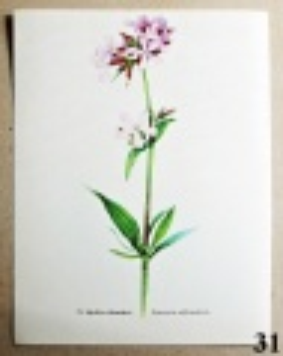 atlas rostlin mydlice lékařská