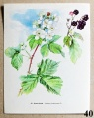 atlas rostlin ostružiník