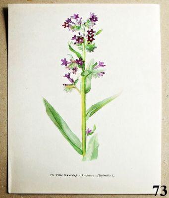 atlas rostlin pilát lékařský