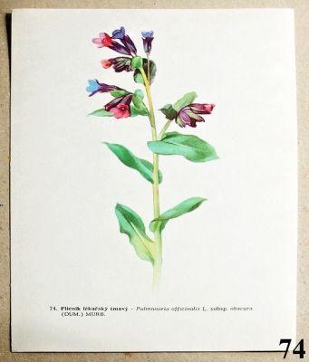 atlas rostlin plicník lékařský