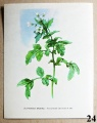 atlas rostlin poočnice lékařská