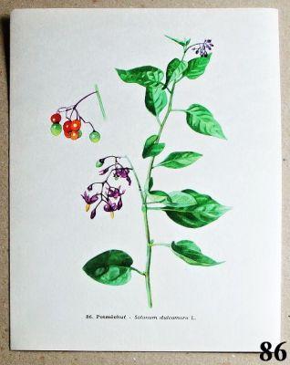 atlas rostlin potměchuť